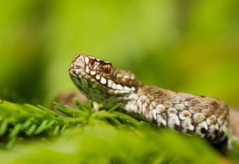 European viper Vipera berus in Czech Repblic
