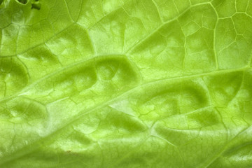 Green leaf salad close-up. The green lettuce macro photo. Natural green abstract background. Healthy vegetable food for low carb or low fat diet.
