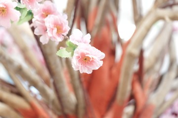 In selective focus a bunch of sweet pink cheery blossom for A Chinese New Year backdrop background with softly style