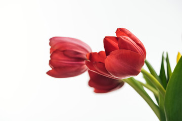 selective focus of red tulip flowers isolated on white