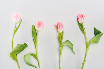 top view of pink tulip flowers isolated on grey
