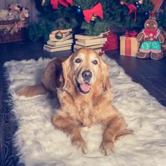 Golden retriever lying in white carpet. Christmas mood.