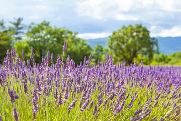 Lavender Field Landscape / Field of lavender on sunny day at landscape of Provence, France