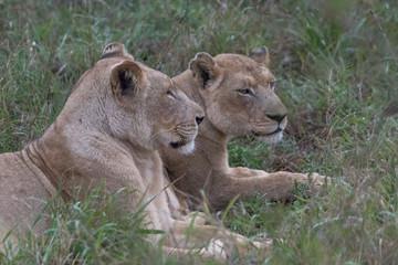 Lion in the grassland, Hlane national park, Swaziland