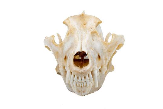 Three Grey Wolves (Canis lupus), mammalian skull