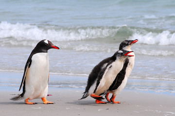 Eselspinguine am Strand