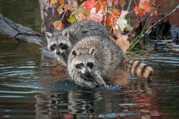 Fotomurales - Two Raccoons (Procyon lotor) Look Straight Out Autumn