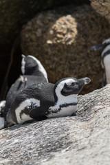 Jackass Penguin at Boulders beach, South Africa