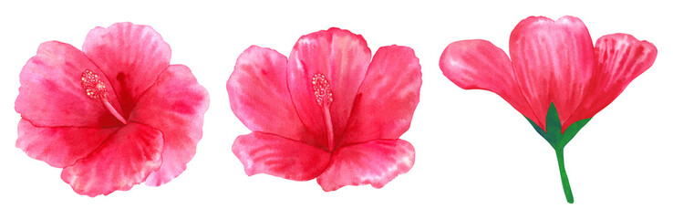 Beautiful pink red flower hibiscus. Hand drawn watercolor illustration. Isolated on white background.