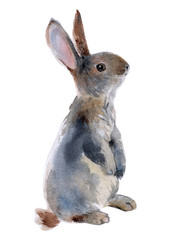 Gray rabbit standing