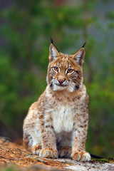 The Eurasian lynx (Lynx lynx), portait. Subadult cat portait.
