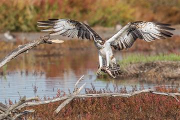 Fischadler mit Beute (im Flug)