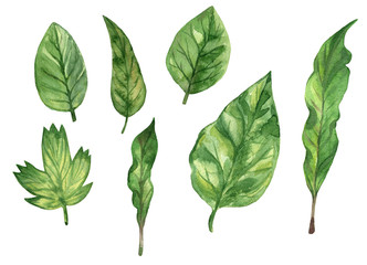 Set of green fresh leaves. Elements for design. Hand drawn watercolor illustration. Isolated on white background.