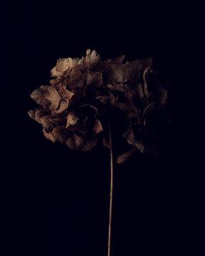 Close up of dried hydrangea flower