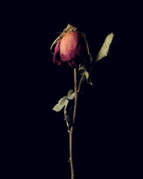 Close up of dry rose