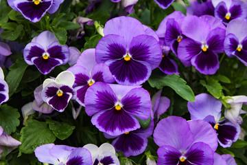 Background of purple pansies