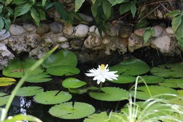 Single Lotus Flower in the Pond