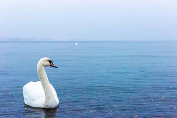 Swan in Norway