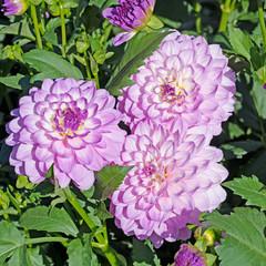 Violette Dahlien, Dahlias