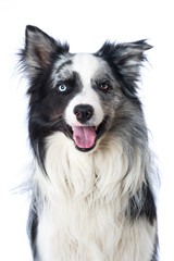 Border collie dog sitting on white background