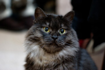 black cat of siberian breed, ashen color with white undercoat. Cute fluffy kitten age 1 year. Proud, important cat sits. A cat with yellow eyes looks into the camera. Long hair graceful cat.