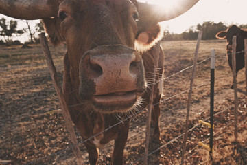 Wall Mural - Cow nose closeup on farm fence during winter sunset.  Texas Longhorn cattle breed shows portrait of heifer.