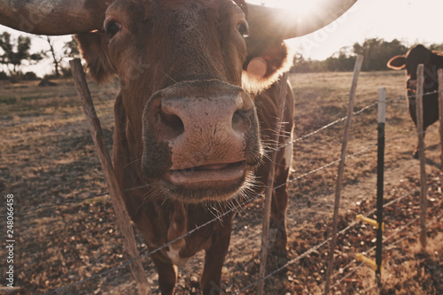Wall mural Cow nose closeup on farm fence during winter sunset.  Texas Longhorn cattle breed shows portrait of heifer.