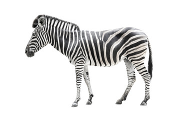 zebra isolated on white Wall mural