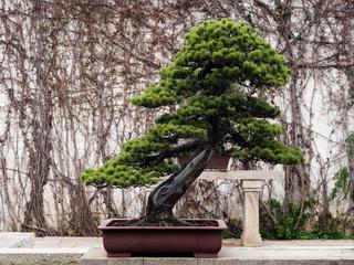 Bonsai tree in classical Chinese garden