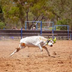 Team Calf Roping At Country Rodeo