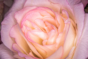 Pink & Yellow Rose Macro