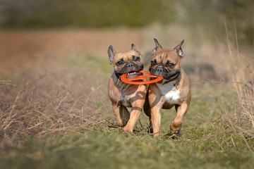 Action shot of two fawn French Bulldog dogs running towards camera while holding a frisbee toy together in their muzzle