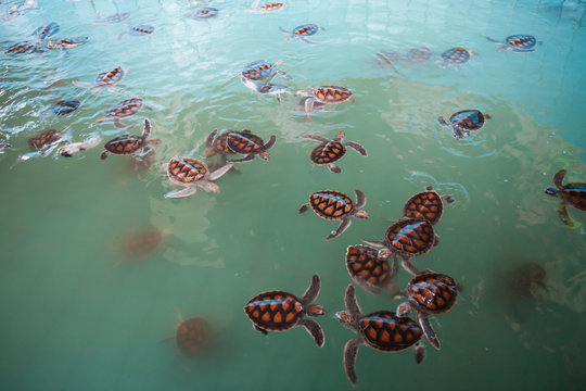 a pool of baby sea turtles all together swimming in water in a turtle farm