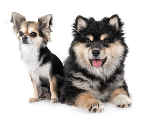 puppy Finnish Lapphund and chihuahua