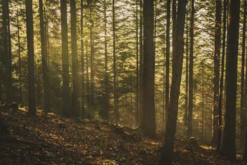 Zamglony las oświetlony promieniami słońca
