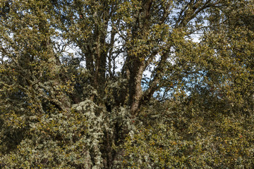 Encina, carrasca. Quercus ilex.