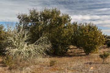 Arbusto cubierto de líquenes en bosque de encinas. Quercus ilex.