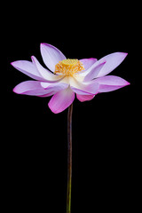 Lotus flower isolated on a black background