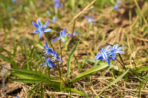 The First Spring Flowers Blue Flowers Grow In The Meadow