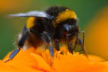 Macro of a bumblebee on an orange Marigold flower in a summer day