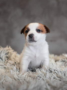 Jack Russell Terrier puppy with spots on the face, sitting on a terry carpet with a white nap on a gray background