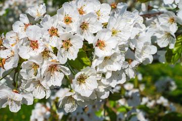 Nahaufnahmen von Kirschblüten