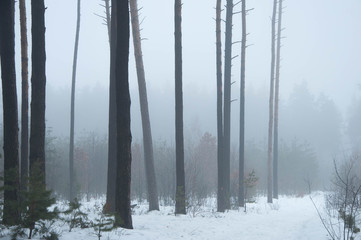 forest minimalism in the fog in winter