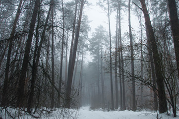 forest in winter with thick fog
