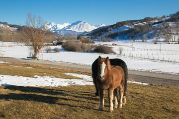 Cavalli selvaggi al pascolo nell'appennino abruzzese innevato