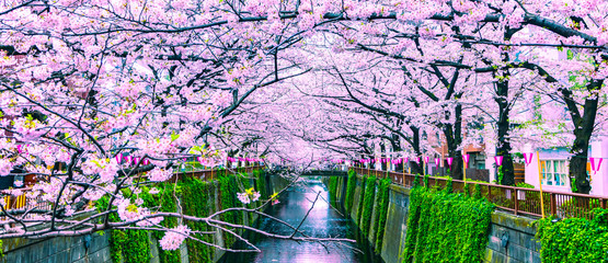 Photo on textile frame Purple Beautiful Sakura or Cherry blossoms at Meguro river in Tokyo, Japan