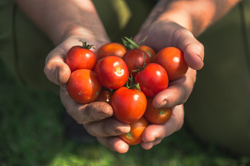 Cherry tomato. Farmer with harvested tomatoes. Farm fresh produce from the garden, organic farming an bio food concept. Fototapete