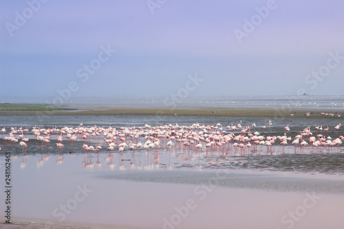 A huge flock of elegant pink flamingos looking for mollusks