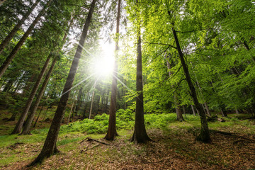 Pine and beech forest with sun rays - Italian Alps