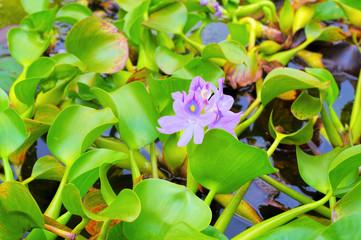 Wasserhyazinthe auf einem Teich - Water hyacinth on a pond